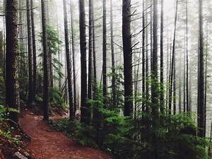 Free stock photo of firs, fog, forest