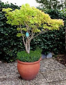 buchsbaum als unterpflanzung von geholzen in kubeln With französischer balkon mit japanischer ahorn garten