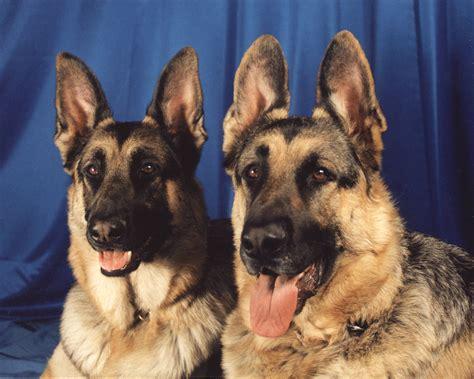 File Ee  German Shepherd Ee   Dogs Portrait Jpg Wikimedia Commons