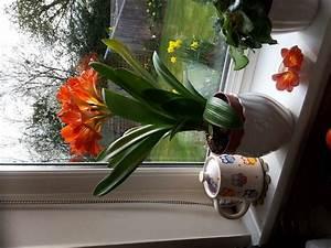 Amaryllis Zum Blühen Bringen : how to get amaryllis to rebloom with pictures wikihow ~ Lizthompson.info Haus und Dekorationen
