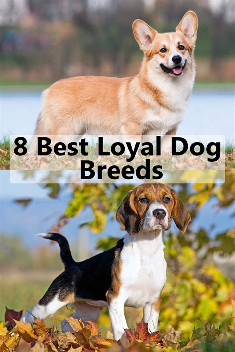 loyal dogs breeds dog known than owners better visit