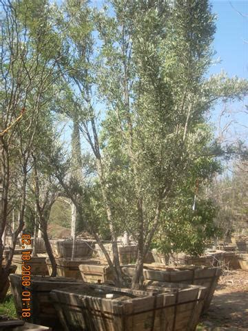 fruitless olive tree growth rate san diego trees twin oaks ranch san marcos
