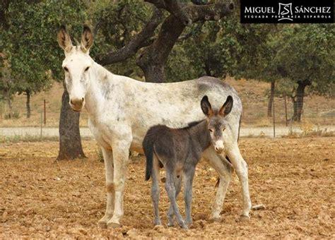 donkey spain andalusian spanish andalusia wild animals horses donkeys andaluz asno domestic animal baby breed native breeds cute cordoba