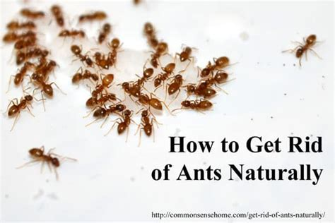 How To Get Rid Of Ants Naturally & Why You Should Protect