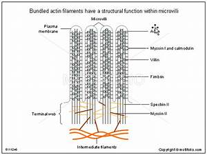 Bundled Actin Filaments Have A Structural Function Within