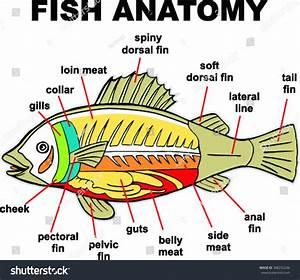Internal Anatomy Fish