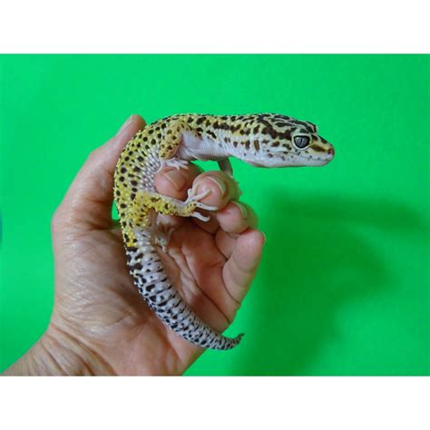 leopard gecko colors leopard gecko mixed colors strictly