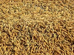 Photo Of Drying Rice Grains By Photo Stock Source