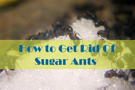 natural ways   rid  sugar ants  house