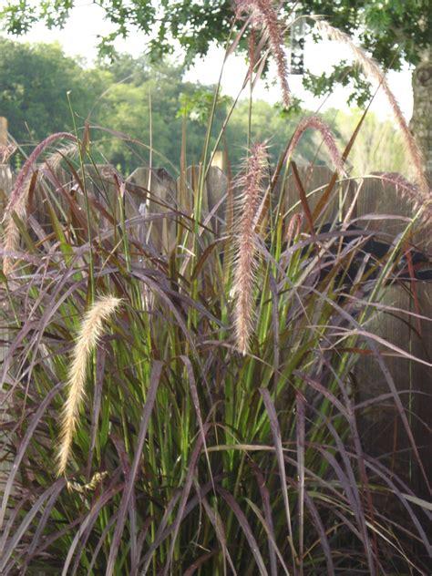 grass purple purple fountain grass majesty green door hospitality