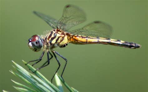 Princeton Landing News Nature Guide Dragonflies
