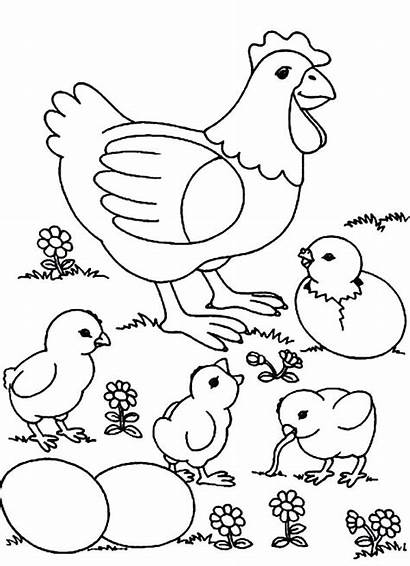 Coloring Chicken Chicks Pages
