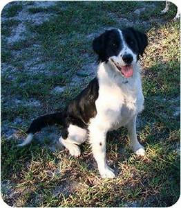 Seek | Adopted Dog | Nokomis, FL | Border Collie/English ...