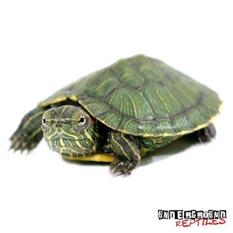 eared slider baby red eared slider turtles for sale underground reptiles