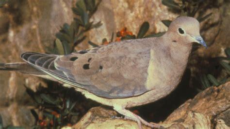 mourning dove the texas breeding bird atlas