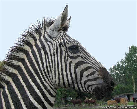 Zebra Wallpaper Pack 3