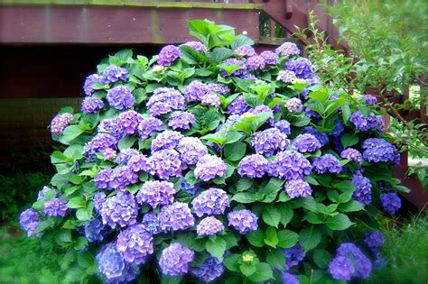 hydrangea bushes the empty nest update let s make babies or how to propagate your hydrangea bush