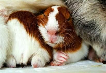 Guinea Pig Pigs Wallpapers Sleeping Deviantart Iii