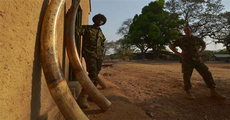armed poachers killing rangers  defend elephants