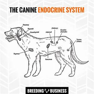 Diagram Of The Hormonal Glands In The Dog Endocrine System