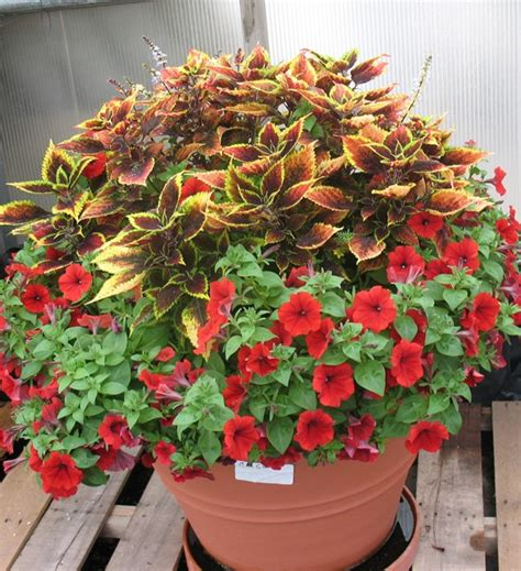 power flowers coleus and petunia container garden garden gardens