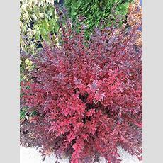 The Plant Hunter The Journey Of Physocarpus Eastern