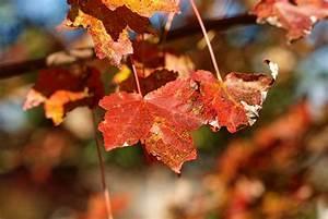 Ahorn Rote Blätter : roter ahorn krankheiten erkennen und behandeln ~ Eleganceandgraceweddings.com Haus und Dekorationen
