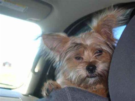 Shih Tzu X Yorkshire Terrier
