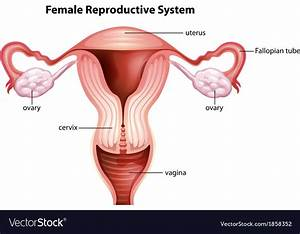 Female Reproductive System Vector Art