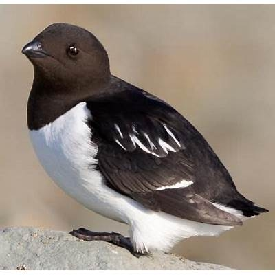 Little AukBirds of the WorldPinterest