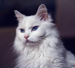 turkish angora cats pet advice ideas guides 187 archive 187 turkish angora cat