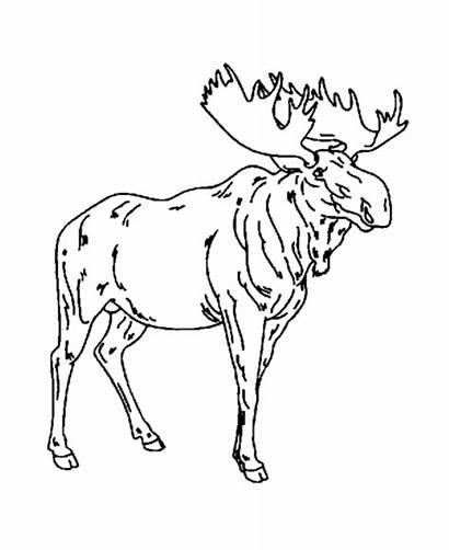 Coloring Moose Elch Drawing Animal Ausmalbilder Wild