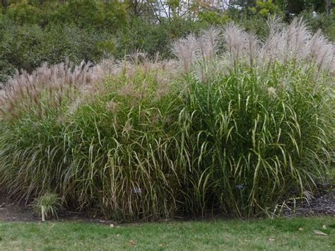 miscanthus sinensis zebrinus an october visit to the minnesota arboretum forum topic american rock garden society