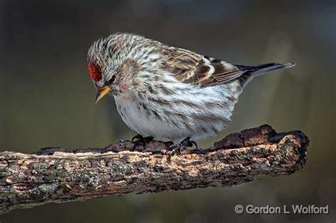 pin common redpoll carduelis flammea photo on pinterest