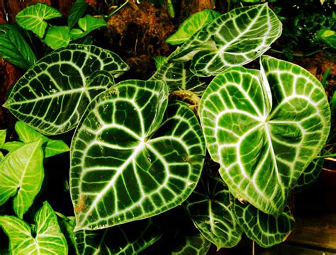 mudah menanam  merawat tanaman hias daun kuping