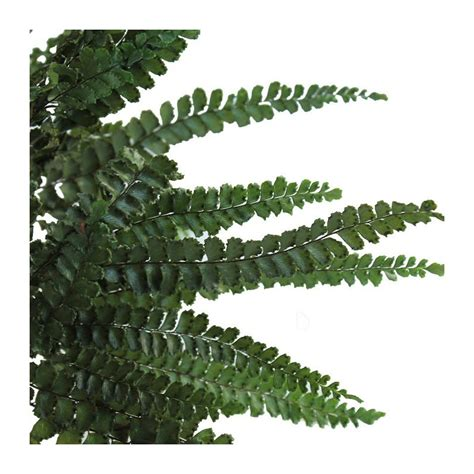 decorative ferns green decorative ferns