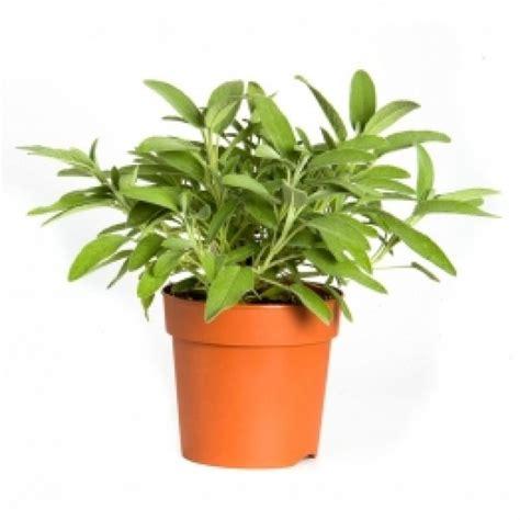 salvia in vaso pianta salvia officinalis vaso grande