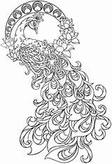 Peacock Drawing Coloring Pages Adults Getdrawings sketch template