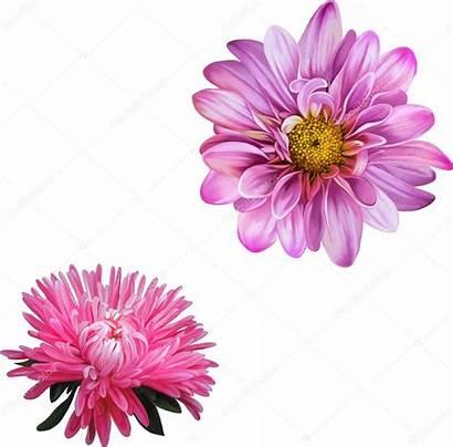 Aster Flower Lisa Mona Illustration Vector Chrysanthemum