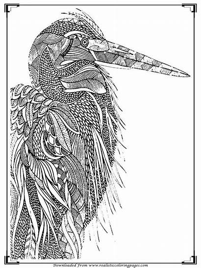 Coloring Pages Printable Adults Birds Bird Realistic