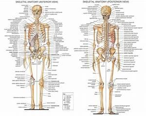 The Skeletal System The Adult Human Skeletal System