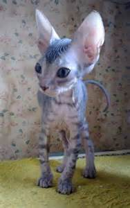 Cute Hairless Cat Kittens