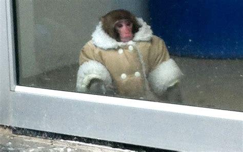 Monkey Found In Ikea Wearing Sheepskin Coat Needs New Home