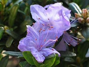 Rhododendron Blaue Mauritius : d oltmanns baumschulpflanzen bildergalerie ~ Lizthompson.info Haus und Dekorationen