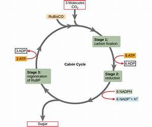 The Calvin Cycle