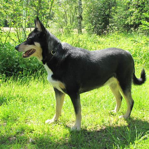 lapponian herder breed guide learn   lapponian