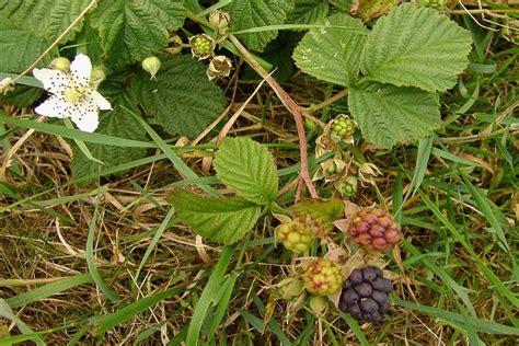 Kazene zilganā - K - Ārstniecības augi - Materiāli - Ārstniecības augi Latvijā