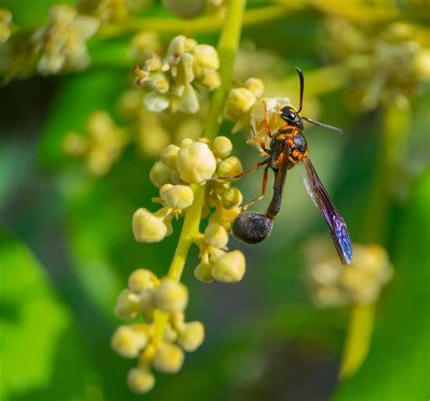 รูปภาพ : Honey wasp, ดอกไม้, macro portrait, แมโคร, ตัวต่อ ...
