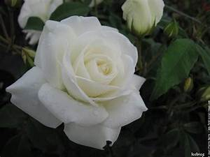 Fleur Rose Et Blanche : nom rose blanche fleur blanche jardin maison retraite champfleuri ~ Dallasstarsshop.com Idées de Décoration