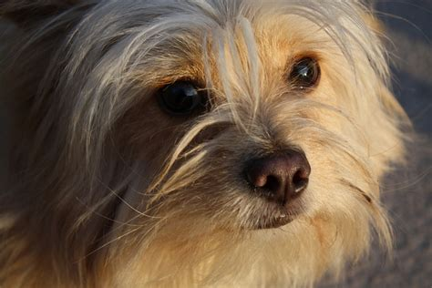 Shih Tzu Chihuahua Mix Pictures To Pin On Pinterest